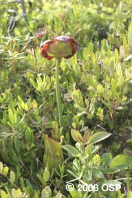 Pitcher plant © Old Sow Publishing